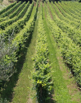 Our vineyards in the Valpolicella Classica